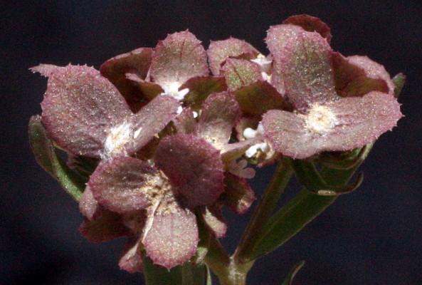 Valerianella dufresnia Boiss.