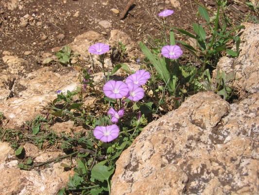חבלבל סורי Convolvulus coelesyriacus Boiss.