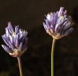 צבע עלי-העטיף כחול או כחול-סגול עם עורק כהה באמצע עלה-העטיף. צמחי ערבות ומדבריות.