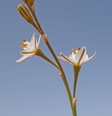עירית נטויה Asphodelus refractus Boiss.