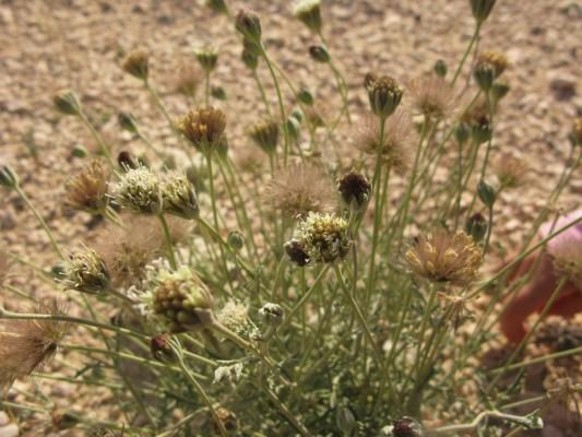 נוציץ המדבר Pterocephalus pulverulentus Boiss. & Balansa