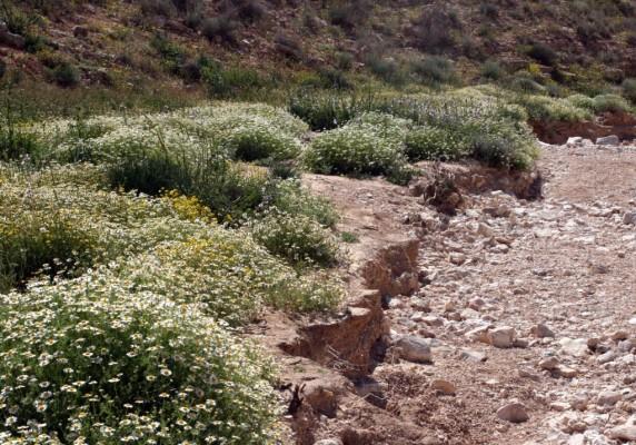 קחוון מצוי Anthemis pseudocotula Boiss.