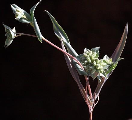 צלע-שור אזמלנית Bupleurum lancifolium Hornem.