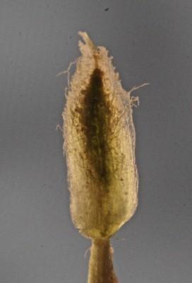 Anthemis melampodina Delile