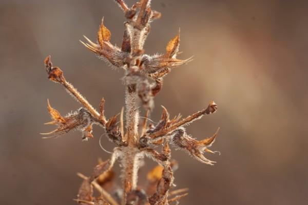 געדה קוצנית Teucrium spinosum L.