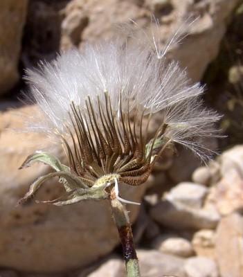 מררית כחולת-זרעון Picris cyanocarpa Boiss.