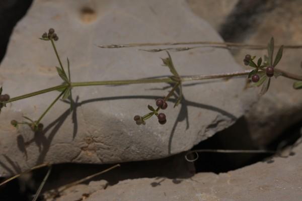 דבקה עדינה Galium spurium L.