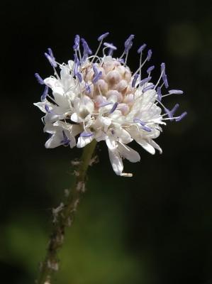 שלמון יפואי Cephalaria joppensis (Rchb.) Coult.