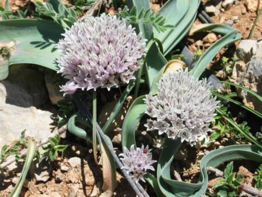 שום הלבנון Allium libani Boiss.