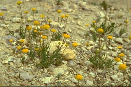 אהרונסוניית פקטורי Aaronsohnia factorovsky Warb. & Eig