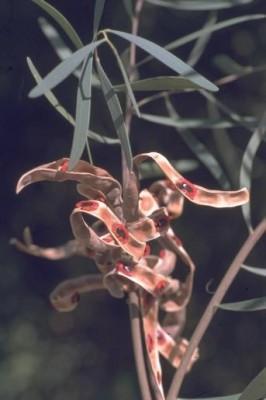 Acacia cyclops A.Cunn ex G.Don