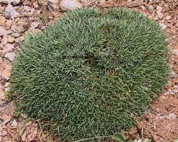 Acantholimon libanoticum Boiss.