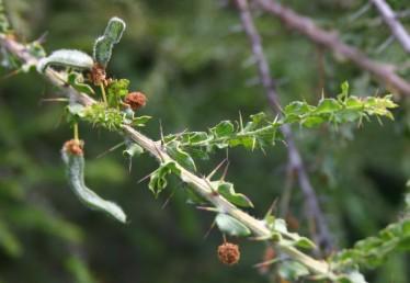 שיחים קוצניים, הקוצים דקים, ירוקים עם חוד חום, ערוכים בזוגות. העלים יושבים ובחלקם סורחים על הגבעול, שפתם גלית. הפרי שעיר.