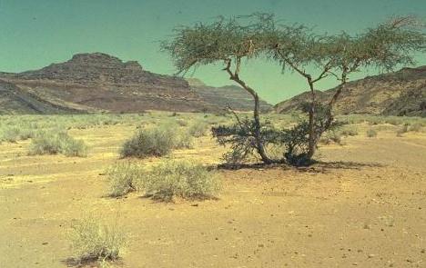 Acacia raddiana Savi