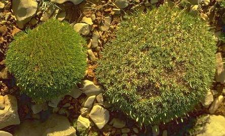 חדעד קיפודני Acantholimon ulicinum (Schult.) Boiss.