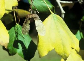 ירוקי-עד; מחליפים עלי השנה שעברה (מצהיבים) בעלים ירוקים של השנה הבאה בהיותם מפותחים.