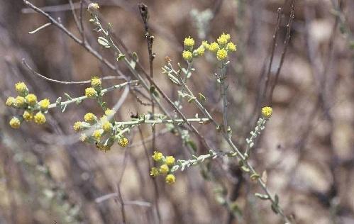 Achillea fragrantissima (Forssk.) Sch.Bip.