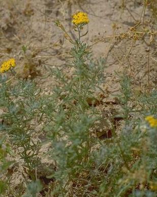 Achillea santolina L.