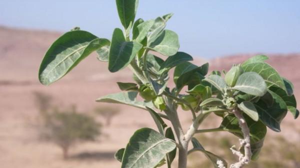 Withania obtusifolia Taeckh.