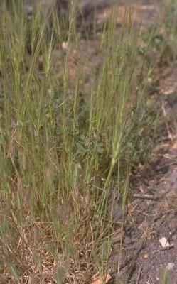 בן-חיטה שלש-זיפי Aegilops triuncialis L.