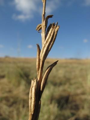 חודיים מנוצים Andrzeiowskia cardamine Rchb.