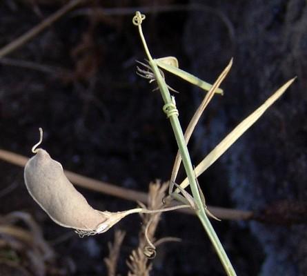 טופח חכלילי Lathyrus setifolius L.