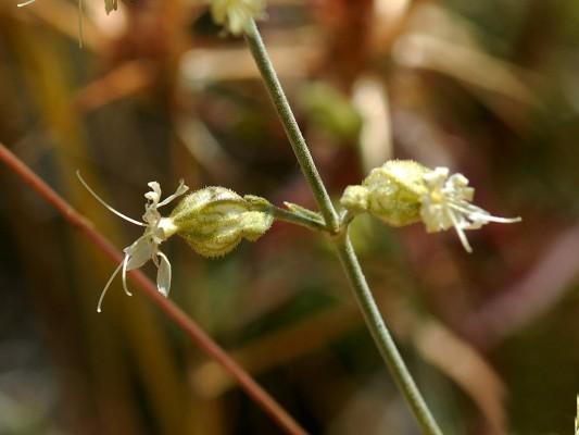ציפורנית צרת-עלים Silene stenobotrys Boiss. & Hausskn.