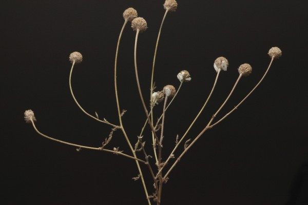 קחוון קטן-עלים Anthemis parvifolia Eig