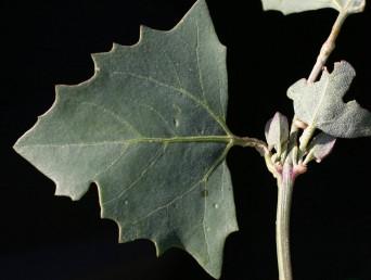 העלים התחתונים משולשים או משולשים-מעויינים, לפחות העליונים נגדיים.
