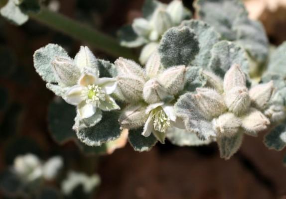 אפרורית מצויה Glinus lotoides L.