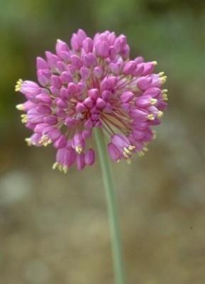 שום הכרמל Allium carmeli Boiss.