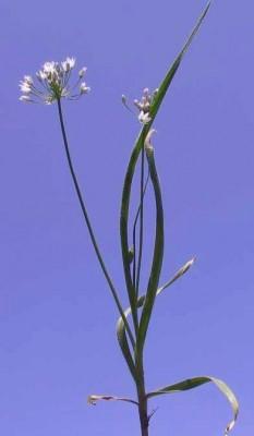 שום שעיר Allium trifoliatum Cirillo subsp. hirsutum (Regel) Kollmann