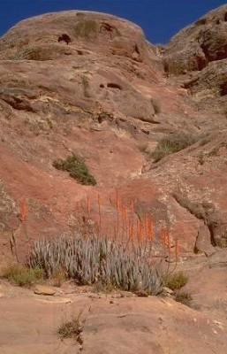Aloe vera (L.) Burm.f.