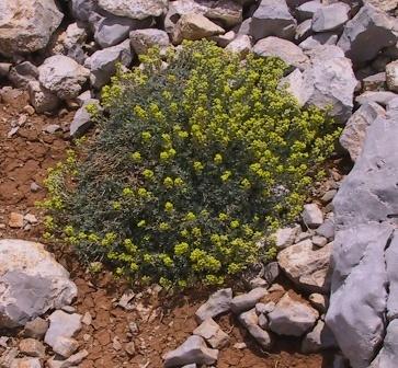 Alyssum baumgartnerianum Bornm.