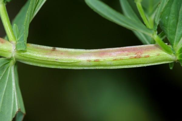 פרע מחודד Hypericum quadrangulum L.