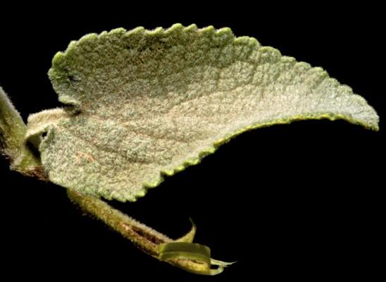 אשבל ארך-שיבולת Stachys longispicata Boiss. & Kotschy