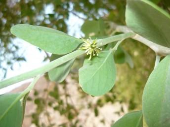 העלים בעלי זוג עלעלים דמויי ביצה.