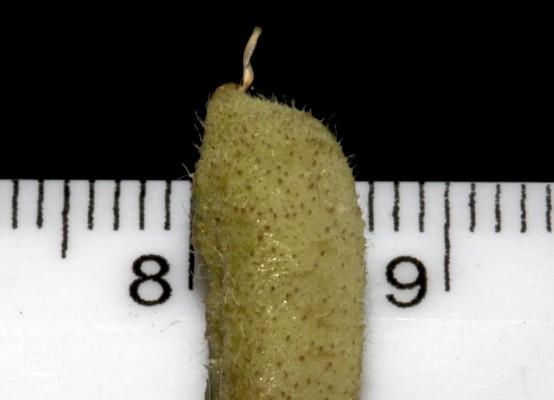 טופח שעיר Lathyrus hirsutus L.