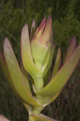 צלקנית נאכלת Carpobrotus edulis (L.) N.E.Br.