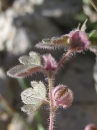 העלים (כולל התחתונים) בעלי 5-3 אונות, הקיצונית רחבה מהצדדיות.
