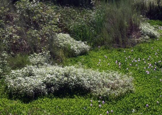 ארכובית צמירה Persicaria lanigera (R.Br.) Sojak