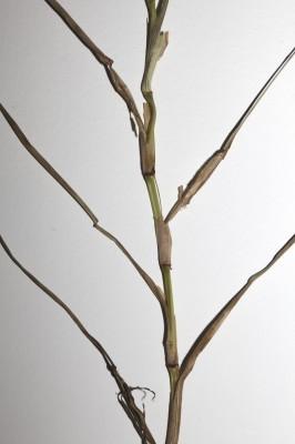 Hemarthria altissima (Poir.) Stapf & C.E.Hubb.