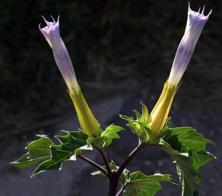 דטורה זקופת-פרי Datura stramonium L.
