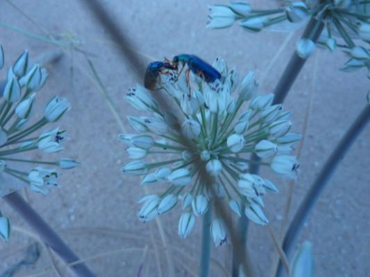 שום סיני Allium sinaiticum Boiss.