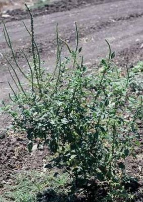 ירבוז פלמר Amaranthus palmeri S.Watson