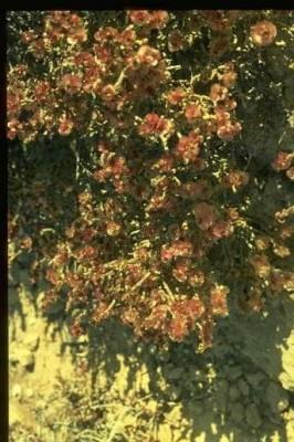 יפרוק המדבר Anabasis articulata (Forssk.) Moq.
