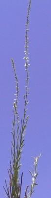 Anarrhinum forskahlii (J.F. Gmel.) Cuf.