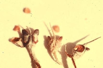 שושנת-יריחו אמיתית Anastatica hierochuntica L.