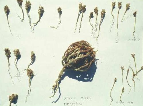 Anastatica hierochuntica L.