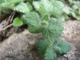צמחים שעירים-מלבינים הגדלים בצוקים ים-תיכוניים.